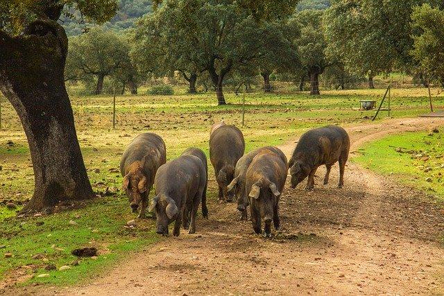 Comprar jamón ibérico cerdos